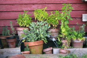 garden of herb plants in pots
